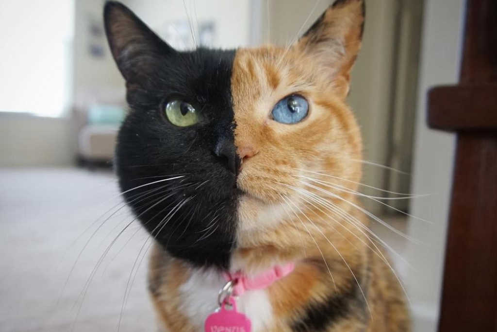 Stars and their eyes…Venus, the two-faced cat